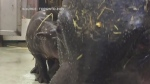 Toronto Zoo welcomes baby hippo