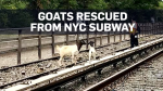 Goats rescued after delaying NYC subway