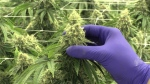 Peace Naturals is a medical marijuana plant in Clearview Township, Ont. (CTV News/Roger Klein)