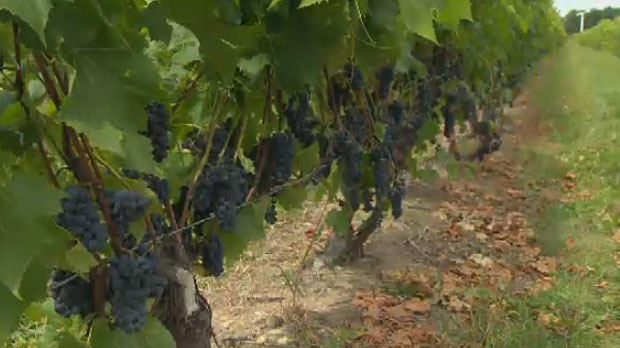 Quebec's wine industry, though small, has almost doubled in size in the past four years.