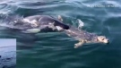 A seal was hunted by a pod of transient or Bigg's killer whales off the coast of Victoria, Fri., Aug. 24, 2018. (MyNews/Riley Sharko)