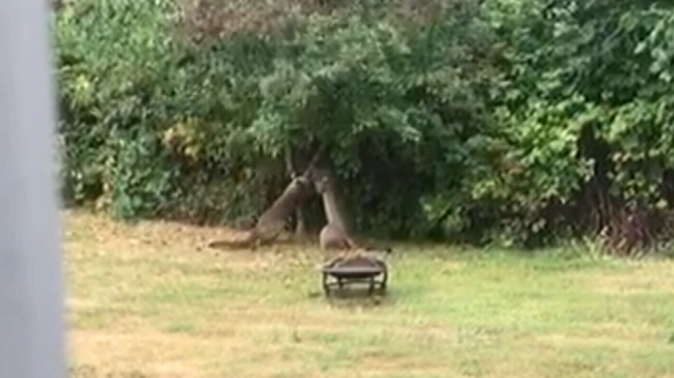 Saffrina Welch was at her home just outside of Buckley Bay at 8:30 a.m. when she spotted two young-looking cougars in her yard. Aug. 30, 2018. (Courtesy Saffrina Welch)