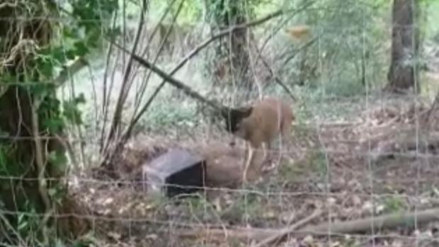 stuck deer