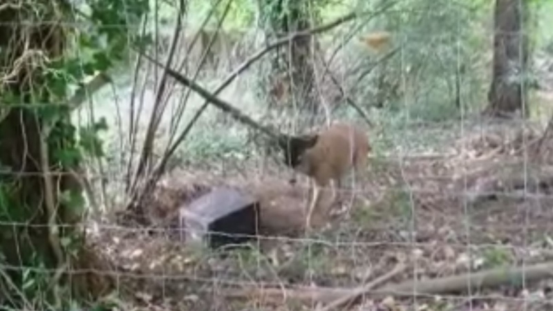A Comox Valley woman became pinned underneath a deer while trying to untangle it, according to police. Aug. 31, 2018. (Comox Valley RCMP)