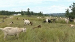 P.A. business wants goats for weed control