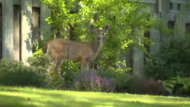 A woman from Oak Bay, B.C. says she was attacked by deer in her backyard.