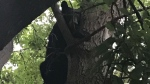 Black bear in tree downtown Ottawa