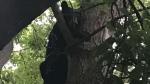 Black bear in tree downtown Ottawa