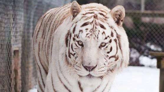N.S. zoo mourns loss of Atlantic Canada's only white tiger
