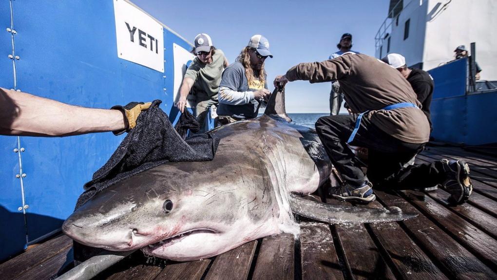 Hilton shark