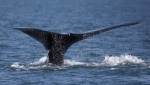 A North Atlantic right whale appears at the surface of Cape Cod bay off the coast of Plymouth, Mass., on March 28, 2018. (THE CANADIAN PRESS / AP-Michael Dwyer)
