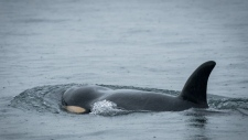 j50 killer whale