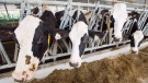 Dairy cows are seen at a farm Friday, August 31, 2018 in Sainte-Marie-Madelaine Quebec. THE CANADIAN PRESS/Ryan Remiorz