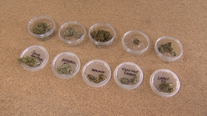 Glass dishes containing many different types of cannabis. (CTV)