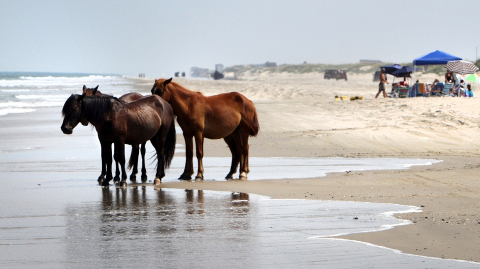In this July 25, 2011, file photo, a group of wild horses cools off in the ocean breeze on the beach in Corolla, N.C. (AP Photo/Virginian-Pilot, Steve Earley, File)