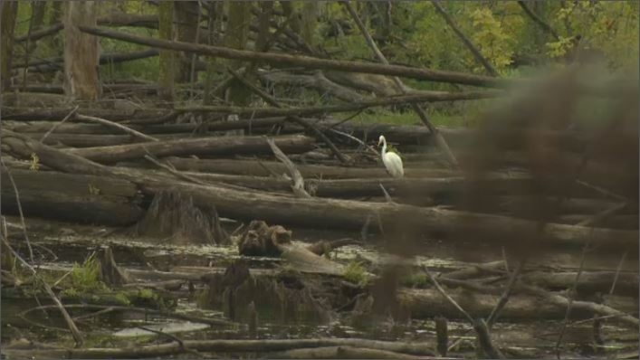 A great egret is pictured in its territory - the wetlands near the R.E.M.'s proposed Technopark station. Environmentalists are calling on Federal officials to intervene, halt construction, and protect the habitat. (CTV Montreal)