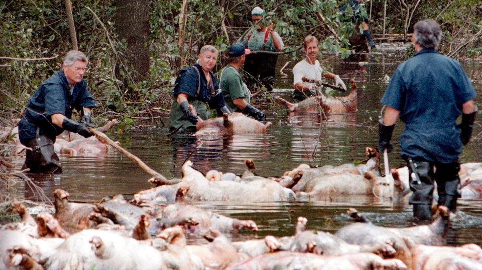 In this Sept. 24, 1999, file photo, employees of Murphy Family Farms along with friends and neighbors, float a group of dead pigs down a flooded road on Rabon Maready's farm near Beulaville, N.C. The hogs drowned from the floodwaters of the NE Cape Fear River after heavy rains from Hurricane Floyd flooded the area. The heavy rain expected from Hurricane Florence could flood hog manure pits, coal ash dumps and other industrial sites in North Carolina, creating a noxious witches' brew of waste that might wash into homes and threaten drinking water supplies. (AP Photo/Alan Marler, File)