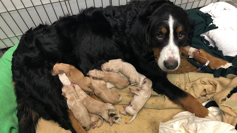 A pregnant and distressed Bernese mountain dog gave birth to nine puppies, but it's now caring for 11 additional puppies. Sept. 12, 2018. (Victoria Humane Society)