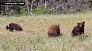 Banff bear