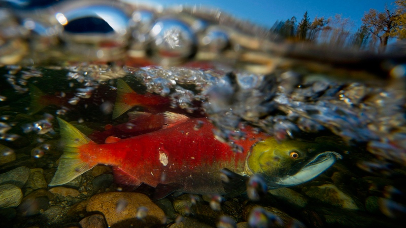 A spawning sockeye salmon is seen in this Oct. 2014 file image. (THE CANADIAN PRESS/Jonathan Hayward)