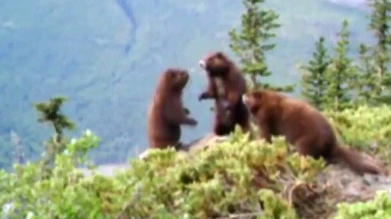 Three healthy-looking Vancouver Island marmot pups are seen play-fighting on a lush mountainside in new footage released by a conservation group. Sept. 12, 2018. (Courtesy Vancouver Island Marmot Recovery Foundation)