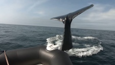 humpback whale strikes boat