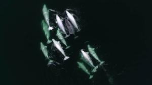 Narwhal befriends belugas