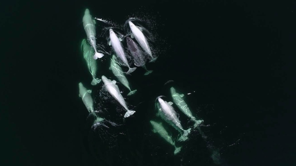 A narwhal is shown swimming with a group of beluga whales in this undated handout photo. (Group for Research and Education on Marine Mammals)