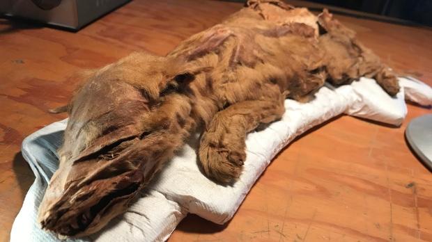 Mummified wolf cub