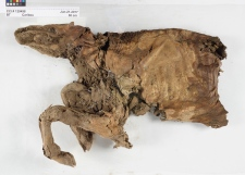 Mummified caribou calf