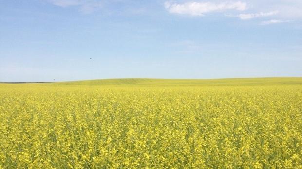 Carinata field