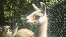 Cuzco the llama