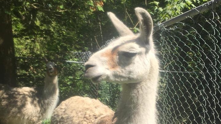 Cuzco the llama was a favourite at Cherry Brook Zoo.