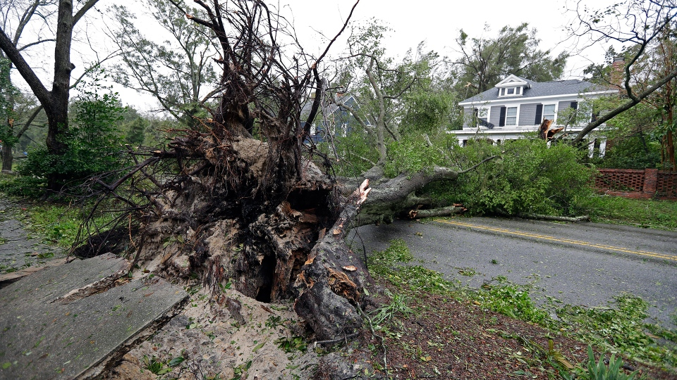 A tree uprooted by strong winds lies across a street in Wilmington, N.C., after Hurricane Florence made landfall Friday, Sept. 14, 2018. (AP / Chuck Burton)