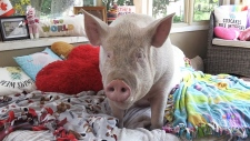 Esther the Wonder Pig recovering from surgery