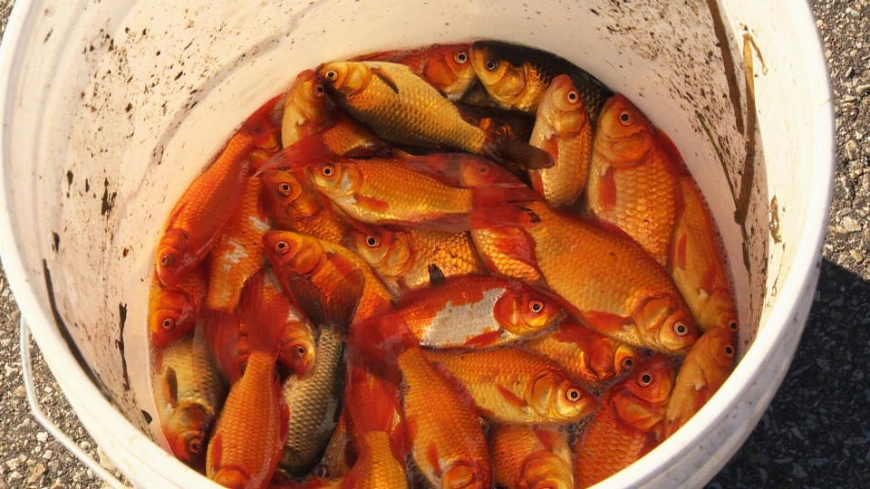 Invasive goldfish are seen in a bucket after being captured near St. Albert, Alta. (CTV News)