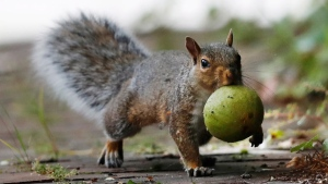 In this Tuesday, Sept. 11, 2018 photo a squirrel carries a walnut in Portland, Maine. A bumper crop of acorns, pine cones and other staples last year led to a population boom of squirrels. (AP Photo/Robert F. Bukaty)