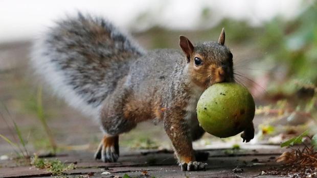Portland Maine squirrel and walnut
