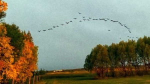The geese were honking and the trees were glowing. Photo by Vicki McLarty.