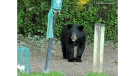 Black bear in Aylmer