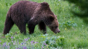 FILE - In this July 6, 2011, file photo, a grizzly bear roams near Beaver Lake in Yellowstone National Park, Wy. (AP Photo/Jim Urquhart)