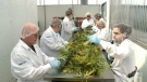 Pot production ramps up