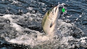In this undated photo a chinook salmon fights while on a fishing line near Brookings, Ore. (Jamie Lusch/The Medford Mail Tribune via AP)