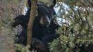 A black bear in a tree near Redwood Meadows in September 2018 (supplied)