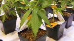 Aurora Cannabis Inc. says it has not signed a deal with respect to any partnership with a drink company. Cannabis seedlings at the new Aurora Cannabis grow facility in Montreal on Friday, Nov. 24, 2017. THE CANADIAN PRESS/Ryan Remiorz