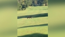 Bear spotted on Ottawa-area golf course