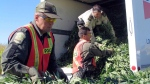 Quebec provincial police load marijuana plants cut from a farmer's field into a rental truck on Sept. 23, 2004. (Les Perreaux / CP)