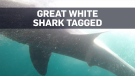 Great white tagged in Atlantic Canadian waters