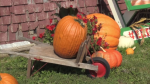 Some pumpkin farmers say the hot, humid weather the Maritimes has had this summer has created good growing conditions for some crops.