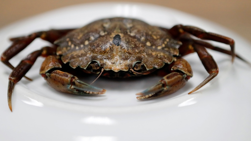 This June 6, 2018, file photo shows a green crab in Portland, Maine. (AP Photos/Robert F. Bukaty, File)